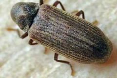 Common furniture beetle (Anobium Punctatum)