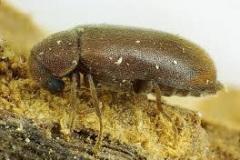 Bark bore beetle (Ernobius mollis)