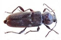 House longhorn beetle (Hylotrupes bajulus)
