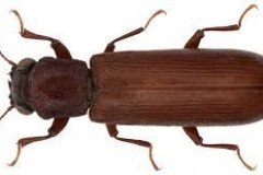 Powder Post Beetle (Lyctus brunneus)