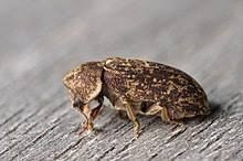 Deathwatch Beetle (Xestobium rufovillosum)