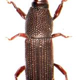 Woodboring Weevil (Pentarthrum/Euophryum)
